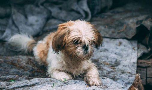 cane smarrito senza collare gps